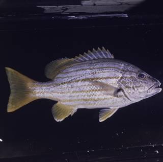 To NMNH Extant Collection (Lutjanus carponotatus FIN030646 Slide 120 mm)