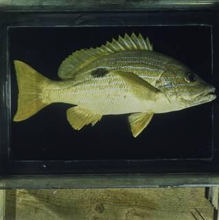 To NMNH Extant Collection (Lutjanus coeruleolineatus FIN030647 Slide 120 mm)