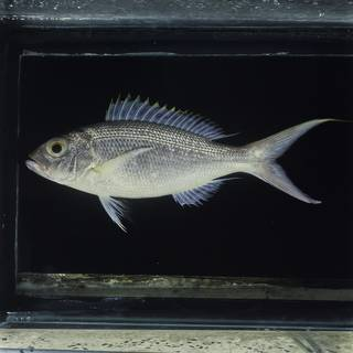 To NMNH Extant Collection (Pristipomoides flavipinnis FIN030758 Slide 120 mm)
