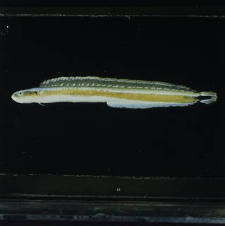 To NMNH Extant Collection (Gunnellichthys curiosus FIN030797 Slide 120 mm)