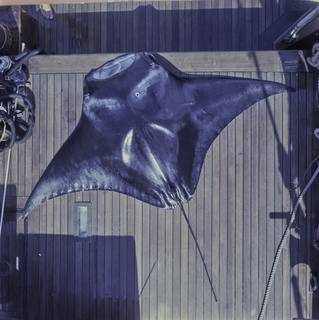 To NMNH Extant Collection (Manta FIN030856 Slide 120 mm)