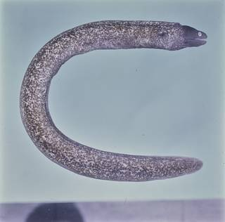 To NMNH Extant Collection (Gymnothorax thyrsoideus FIN031339B Slide 120 mm)