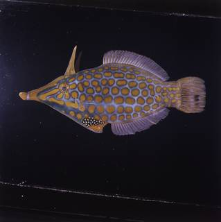 To NMNH Extant Collection (Oxymonacanthus longirostris FIN030896 Slide 120 mm)