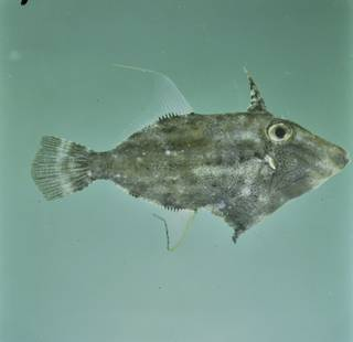 To NMNH Extant Collection (Paramonacanthus nematophorus FIN030907 Slide 120 mm)