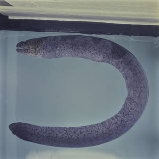 To NMNH Extant Collection (Uropterygius FIN031362 Slide 120 mm)
