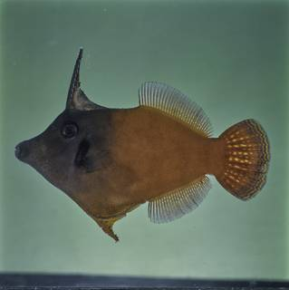 To NMNH Extant Collection (Pervagor melanocephalus FIN030921B Slide 120 mm)