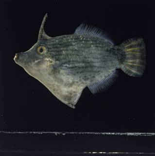 To NMNH Extant Collection (Pervagor nigolineatus FIN030925 Slide 120 mm)