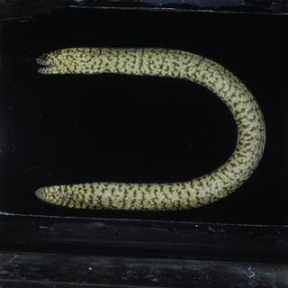 To NMNH Extant Collection (Uropterygius supraforatus FIN031376 Slide 120 mm)