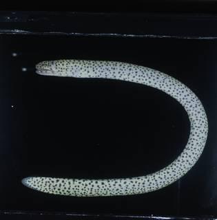 To NMNH Extant Collection (Uropterygius supraforatus FIN031377 Slide 120 mm)