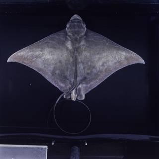To NMNH Extant Collection (Aetomylaeus nichofii FIN031380 Slide 120 mm)