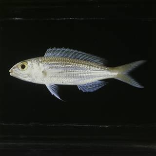 To NMNH Extant Collection (Nemipterus bipunctatus FIN031388 Slide 120 mm)