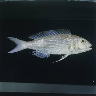 To NMNH Extant Collection (Nemipterus bipunctatus FIN031389 Slide 120 mm)