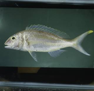 To NMNH Extant Collection (Nemipterus isacanthus FIN031402B Slide 120 mm)