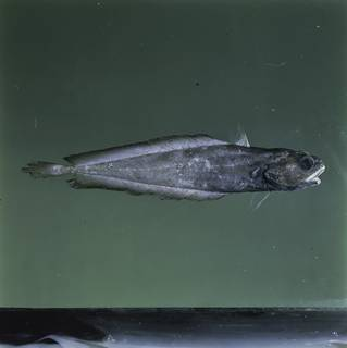 To NMNH Extant Collection (Physiculus FIN030953 Slide 120 mm)