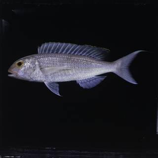 To NMNH Extant Collection (Nemipterus nemurus FIN031412 Slide 120 mm)