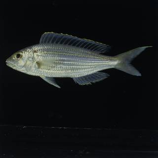 To NMNH Extant Collection (Nemipterus virgatus FIN031419 Slide 120 mm)