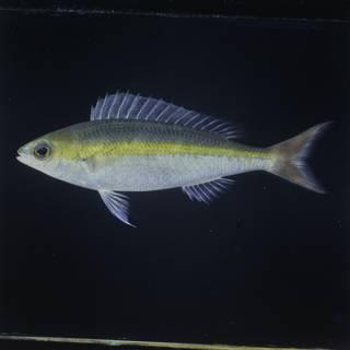 To NMNH Extant Collection (Pentapodus aureofasciatus FIN031436B Slide 120 mm)