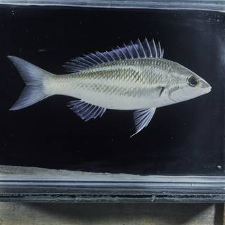 To NMNH Extant Collection (Pentapodus trivittatus FIN031454 Slide 120 mm)