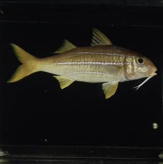 To NMNH Extant Collection (Mulloidichthys mimicus FIN031000 Slide 120 mm)