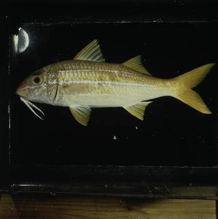 To NMNH Extant Collection (Mulloidichthys mimicus FIN031001 Slide 120 mm)