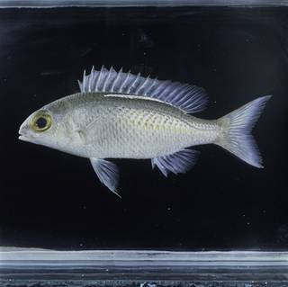 To NMNH Extant Collection (Scolopsis ciliata FIN031472 Slide 120 mm)