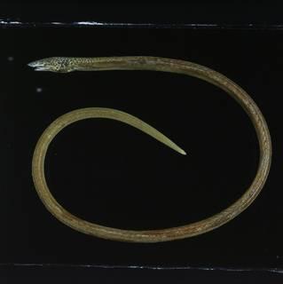 To NMNH Extant Collection (Apterichtus klazingai FIN031518 Slide 120 mm)