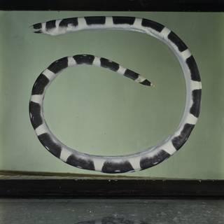 To NMNH Extant Collection (Leiuranus versicolor FIN031541 Slide 120 mm)