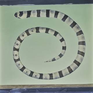To NMNH Extant Collection (Myrichthys colubrinus FIN031549 Slide 120 mm)