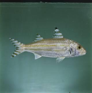 To NMNH Extant Collection (Upeneus vittatus FIN031081 Slide 120 mm)