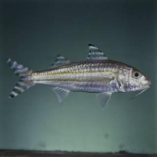 To NMNH Extant Collection (Upeneus vittatus FIN031082 Slide 120 mm)