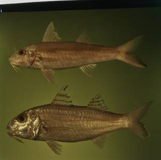 To NMNH Extant Collection (Upeneus sundaicus and Upeneus sulphureus FIN031109A Slide 120 mm)
