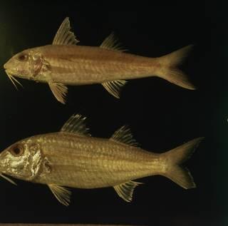 To NMNH Extant Collection (Upeneus sundaicus and Upeneus sulphureus FIN031109B Slide 120 mm)