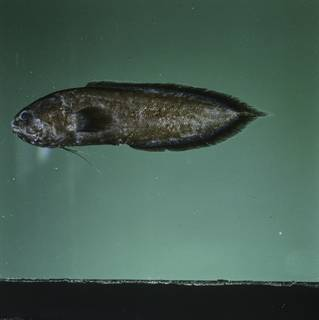 To NMNH Extant Collection (Grammonus waikiki FIN031582 Slide 120 mm)