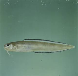 To NMNH Extant Collection (Ophidion smithi FIN031584 Slide 120 mm)