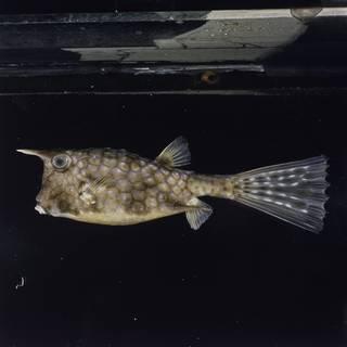To NMNH Extant Collection (Lactoria cornuta FIN031622 Slide 120 mm)