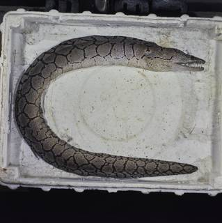 To NMNH Extant Collection (Enchelycore ramosa FIN031151 Slide 120 mm)