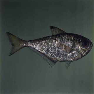To NMNH Extant Collection (Pempheris xanthoptera FIN031720 Slide 120 mm)