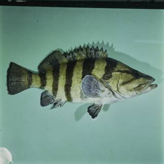 To NMNH Extant Collection (Acanthistius cinctus FIN031726 Slide 120 mm)