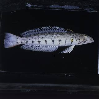 To NMNH Extant Collection (Parapercis punctulata FIN031778 Slide 120 mm)