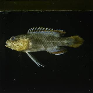 To NMNH Extant Collection (Plesiops oxycephalus FIN031924 Slide 120 mm)