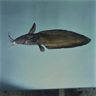 To NMNH Extant Collection (Plotosidae FIN031930 Slide 120 mm)