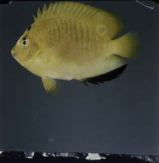 To NMNH Extant Collection (Apolemichthys trimaculatus FIN031959 Slide 120 mm)