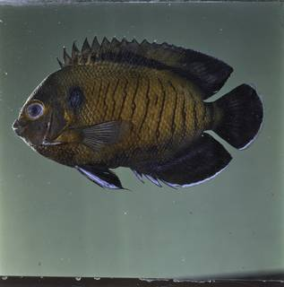 To NMNH Extant Collection (Centropyge multispinis FIN032015 Slide 120 mm)