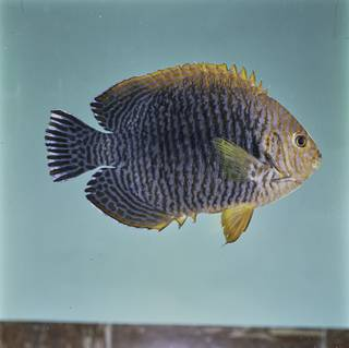 To NMNH Extant Collection (Centropyge potteri FIN032027 Slide 120 mm)