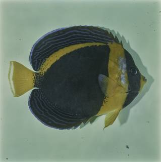 To NMNH Extant Collection (Chaetodontoplus duboulayi FIN032038 Slide 120 mm)
