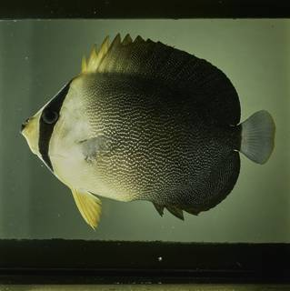 To NMNH Extant Collection (Chaetodontoplus poliourus FIN032044 Slide 120 mm)