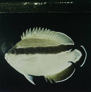 To NMNH Extant Collection (Apolemichthys arcuatus FIN032049 Slide 120 mm)