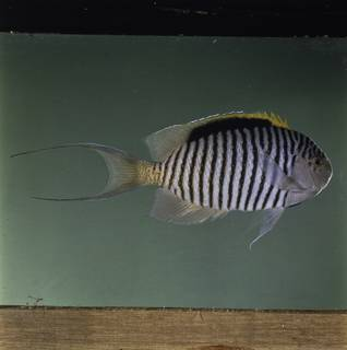 To NMNH Extant Collection (Genicanthus caudovittatus FIN032054 Slide 120 mm)