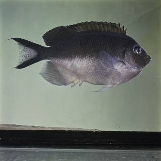 To NMNH Extant Collection (Genicanthus semicinctus FIN032063 Slide 120 mm)