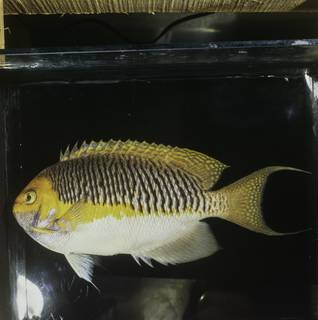 To NMNH Extant Collection (Genicanthus semifasciatus FIN032065 Slide 120 mm)
